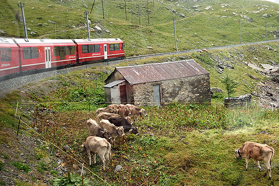 Passing a herd on the Bernina Express route | Copr. © 2019 by Tim Adams, Creative Commons CC BY 2.0