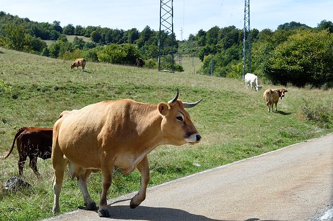 Cow crossing road near Posada de Valdeon | © 2020 Tim Adams, CC BY 2.0